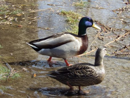 Mr. & Mrs. Mallard checking out the Duck Pond, Boston Public Gardens
