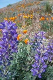 Antelope Valley Poppy Fields