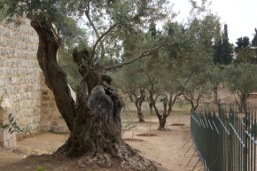 The Garden of Gesthemane - Jerusalem 2011